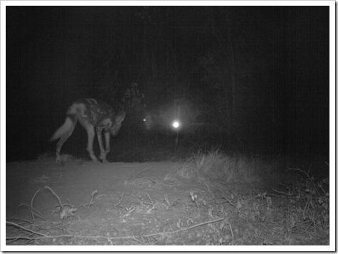 Lajuma wild dogs 13.6.12 Sam Williams IMG_0757