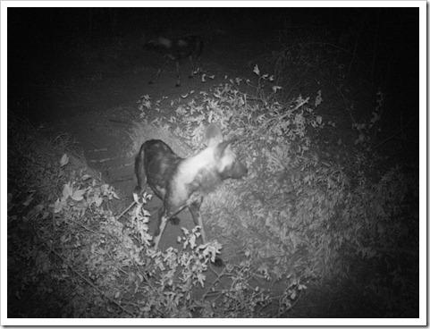 Lajuma wild dogs 13.6.12 Sam Williams PICT0118