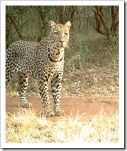Mickel=Leopard2 (2)