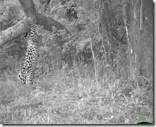 Animal behaviour, Katy Standish, Leopard scratching a tree