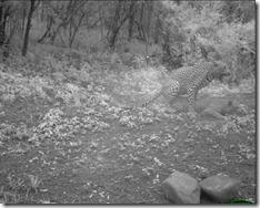 Animal behaviour, Katy Standish, Leopard sex