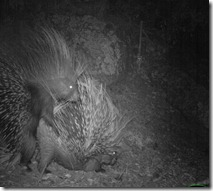 Animal behaviour, Katy Standish, Porcupine sex