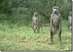 Animal behaviour, Katy Standish, Vigilant baboons