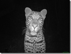 Animal portraits, Katy Standish, Curious female leopard