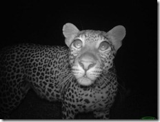 Animal portraits, Katy Standish, Female leopard with big eyes