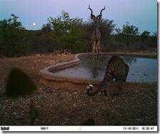 Animal portraits, Katy Standish, Kudu at the waterhole