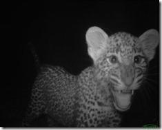 Animal portraits, Katy Standish, Leopard cub saying hello