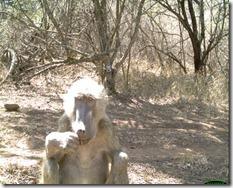 Animal portraits, Katy Standish, Wise old baboon