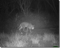 New discoveries, Katy Standish, First African wild cat photo in the Soutpansberg Mountains, SA