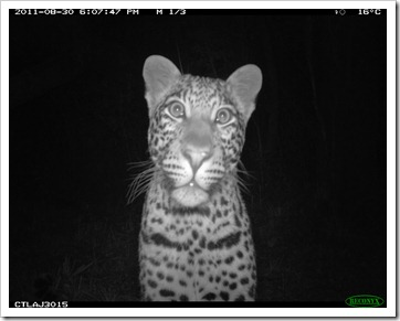 Katy Standish, Curious female leopard