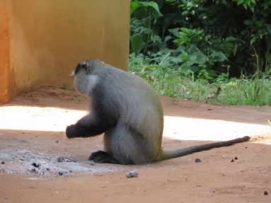 Samango monkeys investigate around braai (barbeque) areas for food remnants.