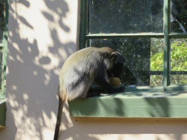 A samango monkey looking through a kitchen window at an apple left on display