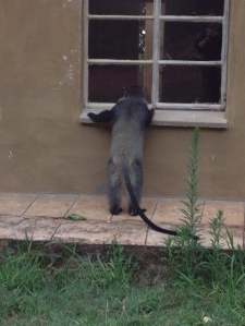 Monkeys are naturally curious and interested in our world.