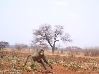 CR baboon zoom